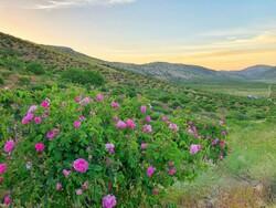 بزرگترین دشت گل دیم دنیا باید بیشتر به مردم معرفی شود