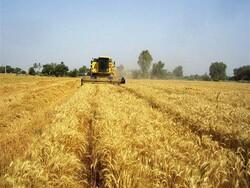 گندمی که به دولت فروخته نشد نصیب واسطهها شد؟ / یک مقام صنفی: تولید کاهش یافته بود