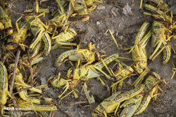 Iran well rid of 153 swarms of desert locusts