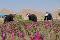 ارزآوری ۵۷۰ میلیون دلاری صادرات گیاهان دارویی ایران
