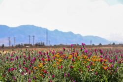 Medicinal herbs farm in Shahreza