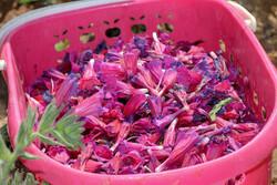 تولیدکنندگان گیاهان دارویی بومی در اردبیل ساماندهی میشوند