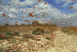 FAO warns of another desert locust breakout in Iran