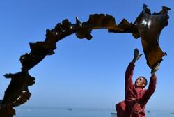 برداشت جلبک دریایی در چین