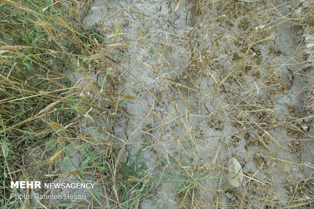 گندم هایی که بر اثر سیل پوسیده اند وامکان برداشت شان وجود ندارد.