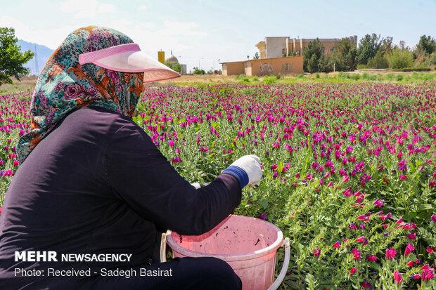 Farm of medicinal herbs in Shahreza