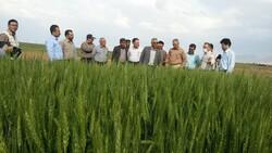 طرح «به نژادی مشارکتی» در مزارع استان کردستان اجرایی می شود