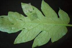 شناسایی سریع بیماری گیاهان با چسب زخم سوزنی