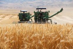 ۳۰۸ هزار هکتار از اراضی استان زنجان به کشت گندم اختصاص یافته است