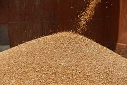 خرید ۴۰۰ هزار تن گندم از کشاورزان زنجانی