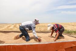 دلالانی در حال خرید گندم برای استفاده از آن در دامداریها هستند