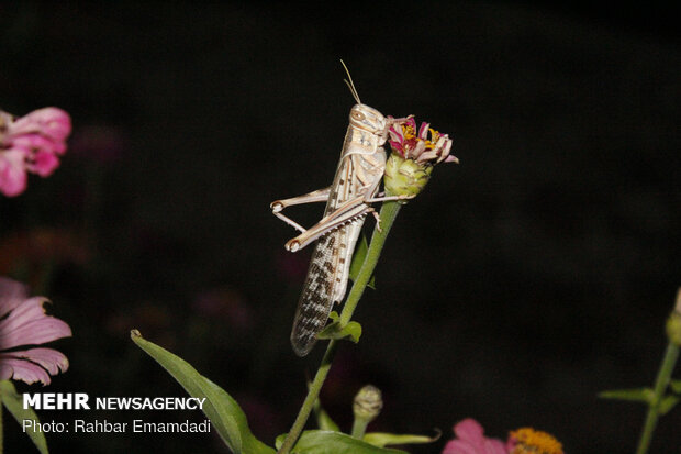 Nightly fight against field locusts