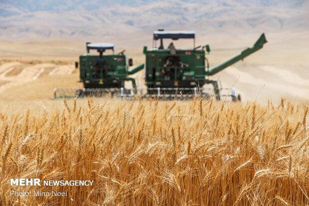 افزایش ۲ برابری خرید تضمینی گندم از کشاورزان کرمانشاهی