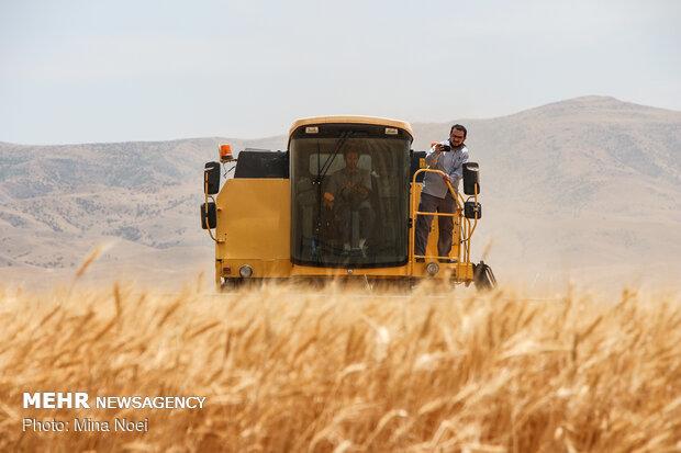 """جني القمح في محافظة """"اردبيل"""" الايرانية"""