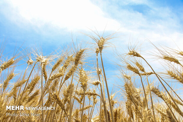 Wheat harvest in Ardabil province
