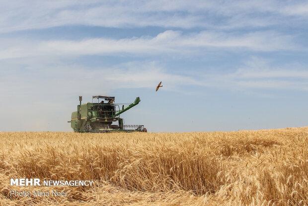 آمادگی ۳ مرکز برای خرید گندم در شهرستان شادگان