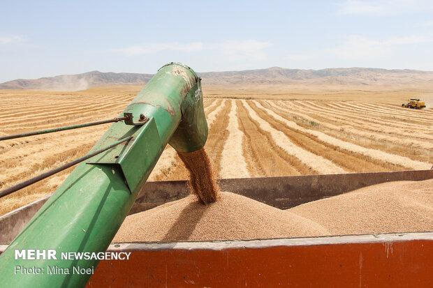 کاهش میزان تولیدوخرید گندم در اردبیل/نرخ خرید گندم تغییر نمیکند