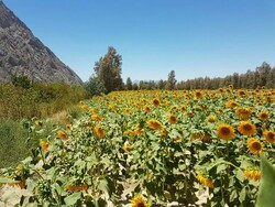 اسلامآباد غرب میزبان دومین جشنواره ملی «روز مزرعه»
