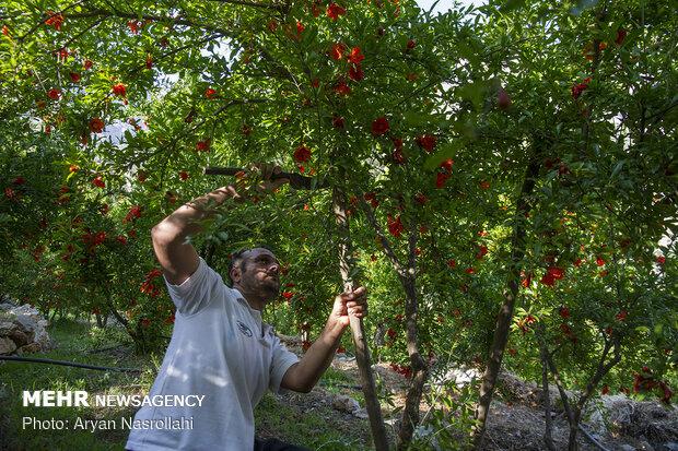 کشاورزی در حال هرس کردن درخت انار