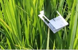 توزیع ۲۶۸ هزار کارت تریکو گراما برای مبارزه بیولوژیک در شالیزارهای گیلان