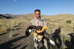 رها سازی یک بهله عقاب طلایی و یک بهله دلیجه در شهرستان سرایان