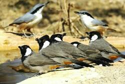 دستگیری فرد متخلف زندهگیر پرندگان زینتی در اندیمشک