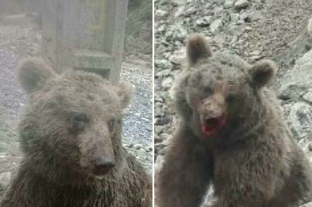 روایت بانوی دوستدار حیاتوحش از مرگ توله خرس قهوه ای