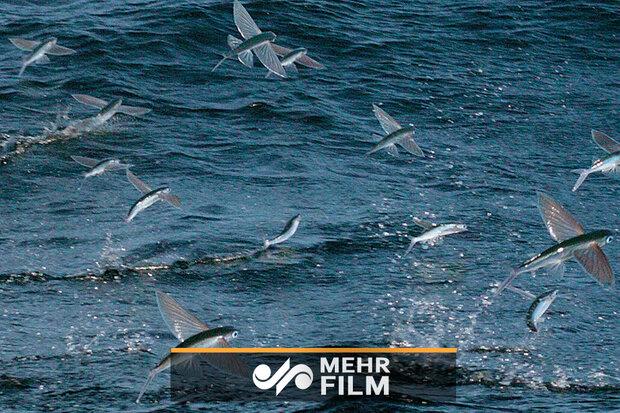 """الاسماك تطير في سد """"سيستان"""" / فيديو"""