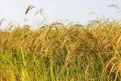 حمایت از کشت برنج به روش«خشکه کاری» در استان ایلام