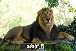 ایرانی شیروں کو ارم زو تک پہنچانے میں کتنا خرچہ ہوا؟
