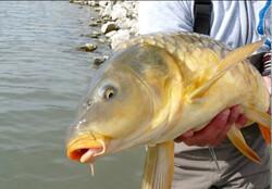 گامی مهم در جهت احیای ذخایر ماهیهای تجاری/بانک ژن کپور و کُلمه راهاندازی شد