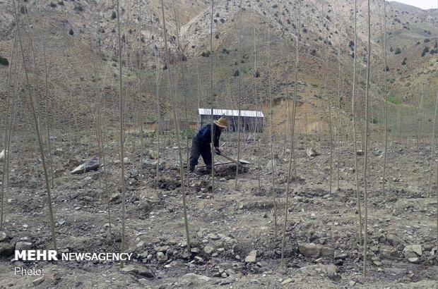 عامل تخریب منابع طبیعی اسدآباد به آبیاری وحفاظت ازدرختان محکوم شد
