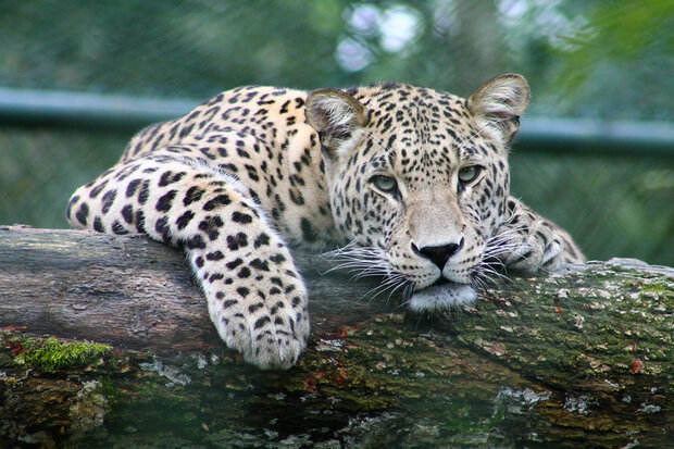 VIDEO: Persian leopard captured on camera in Savadkuh