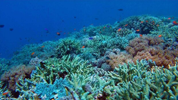 Half of corals survived bleaching in Chabahar Port