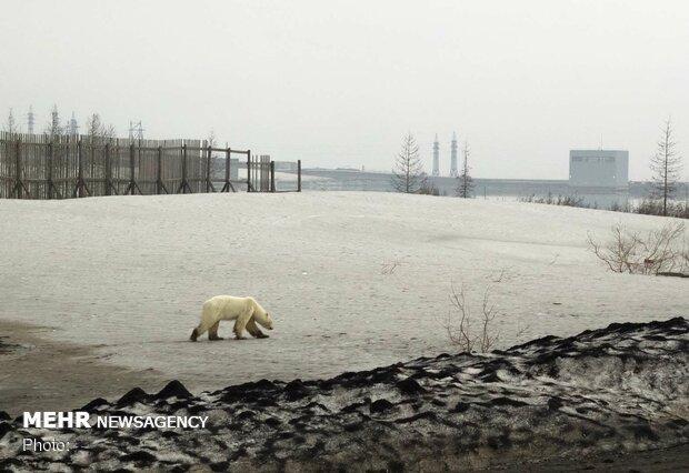 خرس قطبی سرگردان در سیبری