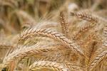 صادرات گندم آمریکا ۲۴ درصد کاهش یافت