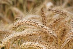 ۲۳۰ هزار تن گندم در سال جاری در شهرستان بیجار تولید می شود