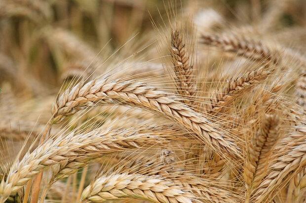 ۶۰ هکتار از اراضی کشاورزی به کشت گندم اختصاص یافت