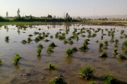 توسعه کشت برنج در۱۷استان با وجود ممنوعیت/کشت برنج در کویر