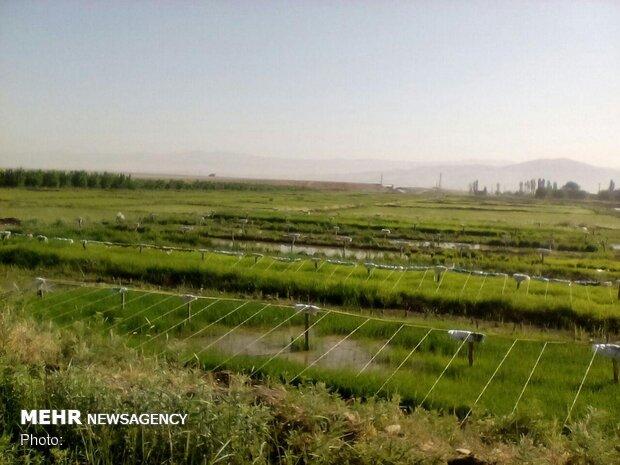 مناطق زیر کشت برنج کشور با تصاویر ماهواره ای شناسایی شدند