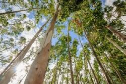 تولید گرافن سبز از صمغ درختان با هزینه اندک