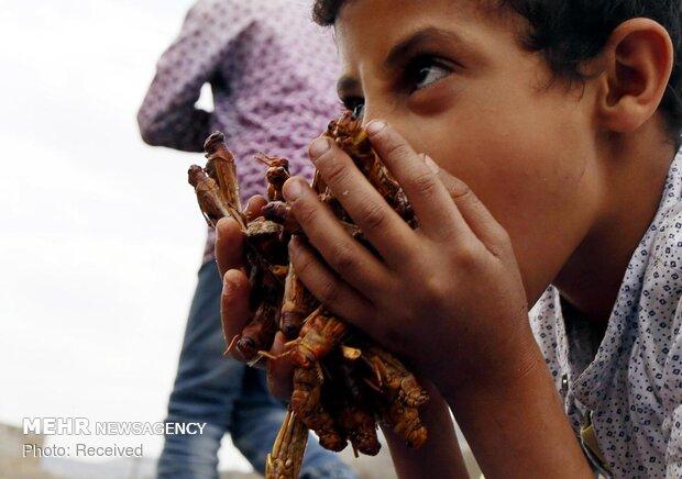 هجوم ملخ ها به یمن