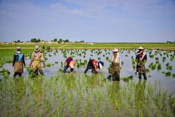Rice cultivation in Golestan prov.