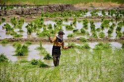 """حقول الأرز في محافظة """"كلستان"""" شمالي ايران / صور"""