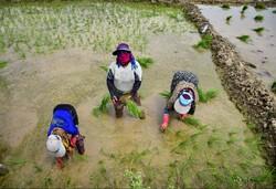 صوبہ خوزستان میں دھان لگا نے کی فصل