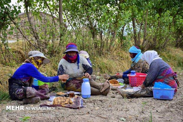 Gülistan eyaletinde çeltik ekimi
