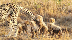 DOE plans on live capture of cheetahs for conservation