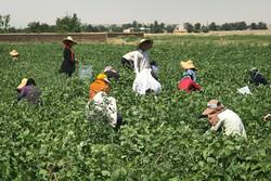 Harvesting green bean in farms near Tehran