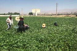 تہران کے اطراف کے فارموں اور کھیتوں سے سبز پھلیاں توڑنے کی فصل