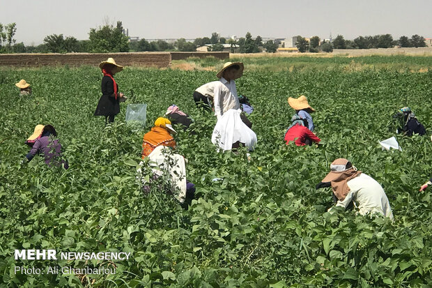 Harvesting green bean in farms near Tehran